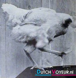 voor sannah en susan kippen zonder kop